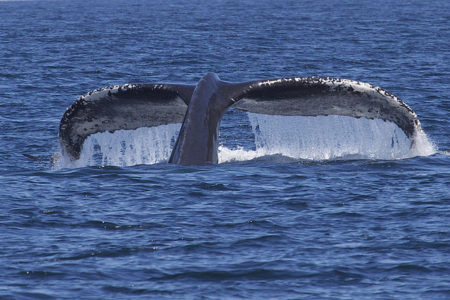 Hawaii's Whale Watching Season Is Coming up Soon
