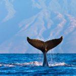 Hawaii's Whale Watching Season Is Coming up Soon