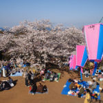 Here Are the Best Times to See Japan's Cherry Blossoms