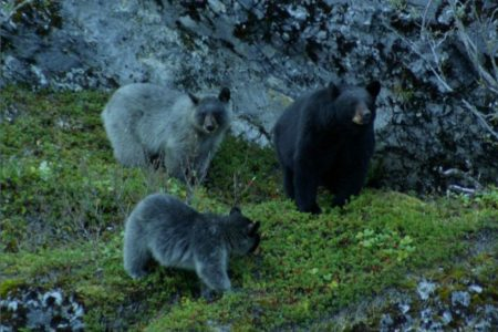 There's a Rare Blue Bear That Lives Only in Alaska