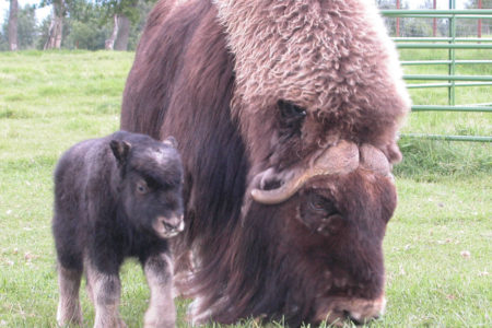 Visit This Musk Ox Farm for a Unique Alaskan Experience
