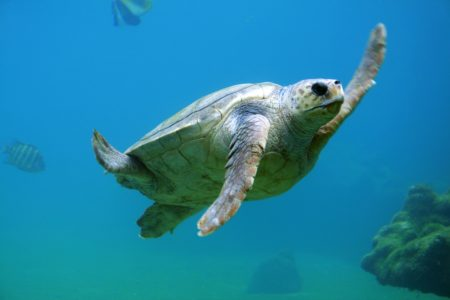 Endangered Sea Turtles Are on the Rebound: See Some on Your Next Vacation