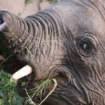 Stumpy the Elephant: Frequent and Treasured Visitor at Four Seasons Safari Lodge
