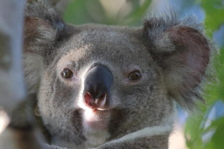 Wild Koala Day: Celebrate Australia's Beloved Marsupial on May 3